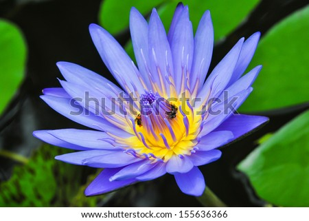 Blue lotus on the pond - stock photo