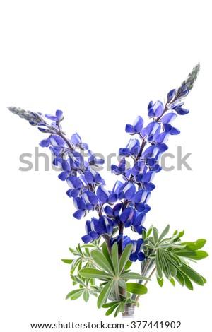 Blue Lupine flower isolated on white background. - stock photo