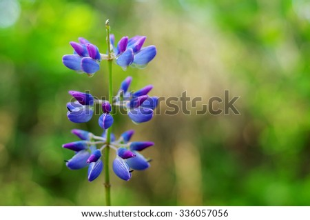 Blue lupine in green background