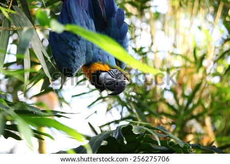 Blue Macaw bird looking curious - stock photo
