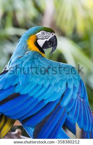 Blue Macaw parrot, closeup portrait. Parrot flexing his wing - stock photo