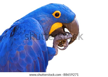 Blue Macaw parrot  - white background