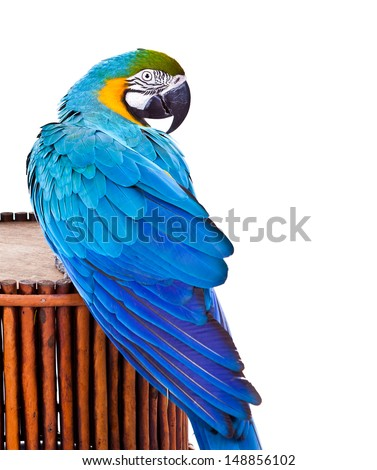 Blue macaw's back, curious. Isolated on white and looking to the right. - stock photo