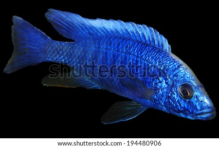 Blue male african Cichlid - stock photo