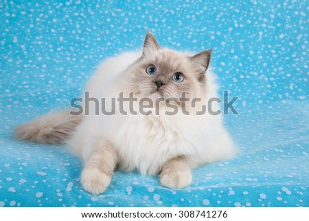 Blue Mitted Ragdoll cat lying down on blue background  - stock photo