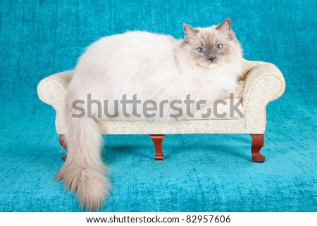 Blue Mitted Ragdoll cat on cream chaise couch sofa - stock photo