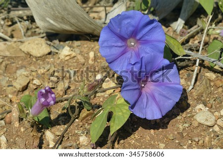 Blue Morning Glory - Ipomoea indicaGarden Flower & Invasive Weed from California - stock photo
