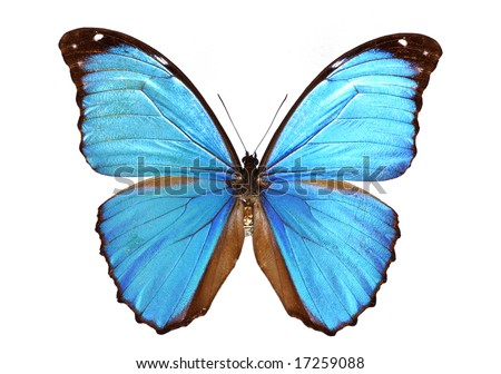 Blue morpho - stock photo