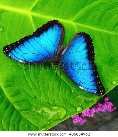 blue morpho butterfly drinking water droplets from a leaf