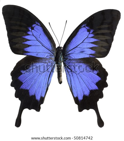 Blue Mountain Swallowtail Butterfly [Papilo Ulysses] - stock photo