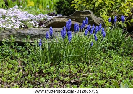 Blue muscari flowers (Grape Hyacinth) in the garden - stock photo