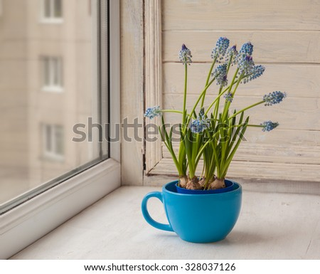Blue muscari in blue cup on the window - stock photo