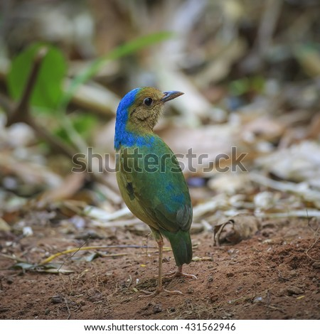 Blue-naped Pitta (Hydrornis nipalensis) in nature of Thailand. (rare and beautiful bird)