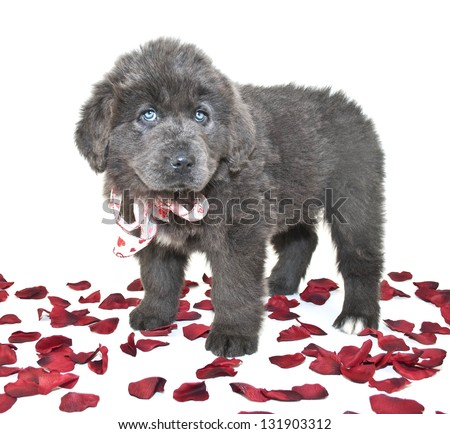Blue Newfoundland puppy with blue eyes standing with rose petals around her on a white background. - stock photo