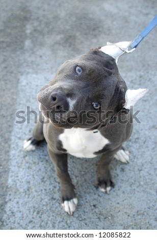 Blue Nose pit bull terrier with tilted head and bandaged ears