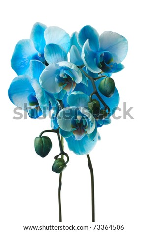 blue orchid on white