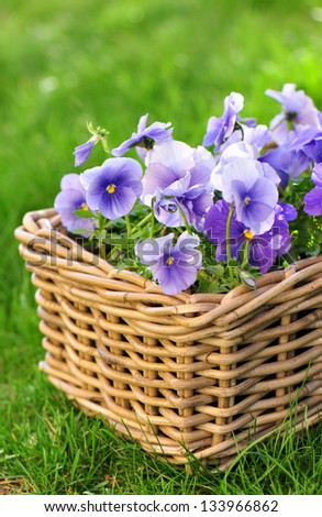 Blue pansies in a basket - stock photo