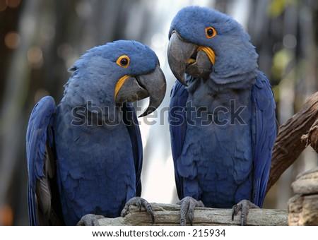 Blue Parrots - stock photo