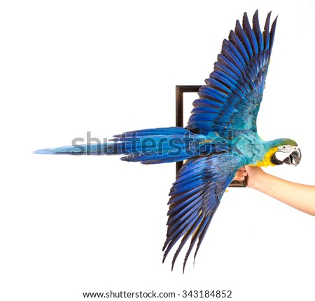 Blue Parrots on white background