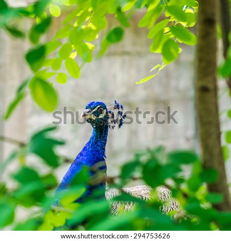 blue peacock on green background standing in a park