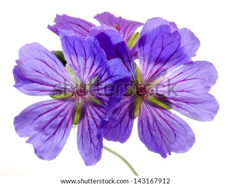 Blue Pelargonium (geranium) flower isolated on a white background
