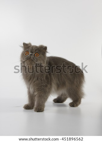 Blue persian cat standing and looking up on white background - stock photo