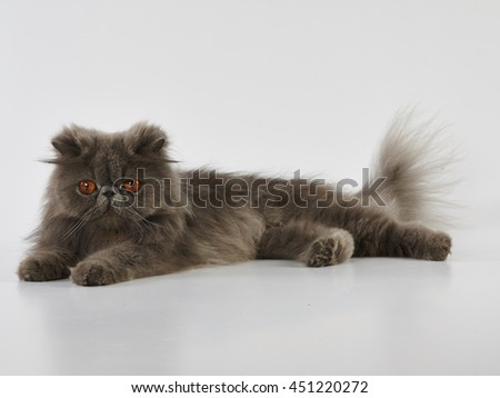 blue persian cat with beautiful copper eyed color laying on the floor.