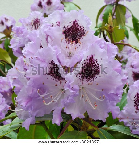 Blue Peter (Rhododendron) - Ericaceaey - stock photo