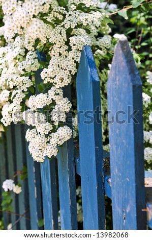 Blue picket fence with flowering bridal wreath shrub - stock photo