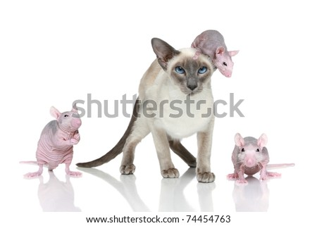 Blue-point oriental cat with three rats on a white background - stock photo