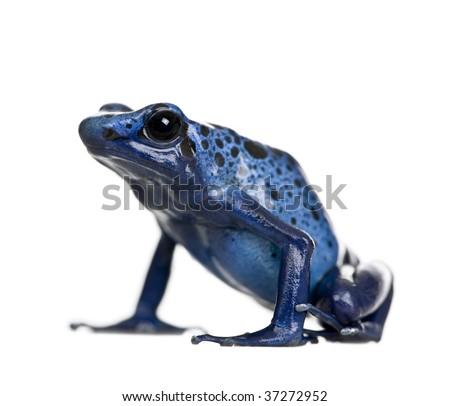 Blue Poison Dart frog, Dendrobates azureus, against white background, studio shot - stock photo