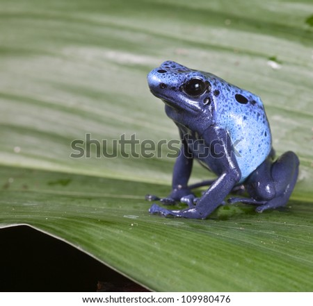 Blue poison dart frog dendrobates azureus,endangered amphibian species of tropical amazon rainforest Suriname - stock photo