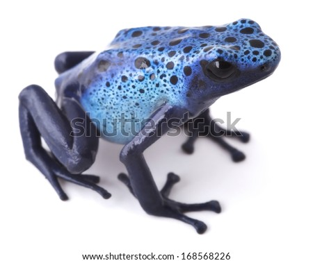Blue poison dart frog, Dendrobates azureus from the tropical Amazon rain forest in Suriname. Beautiful exotic and poisonous rainforest animal isolated on white. - stock photo