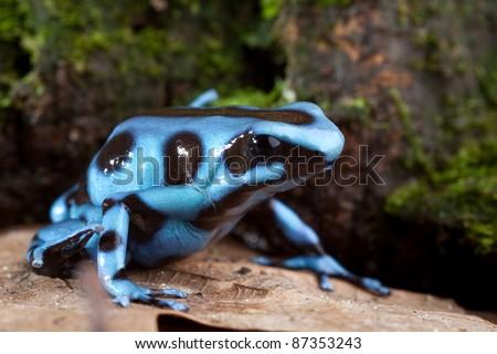 blue poison dart frog poisonous animal of Panama rain forest golden dartfrog - stock photo