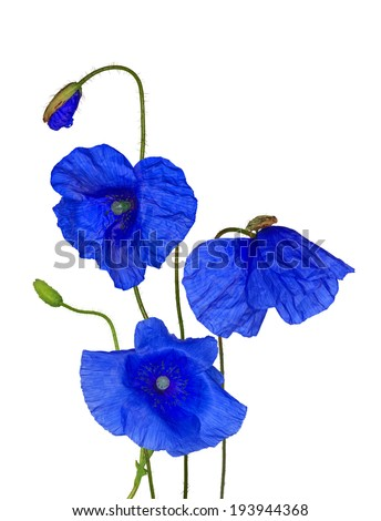Blue poppy flowers collection isolated on stock photo royalty free blue poppy flowers collection isolated on white background mightylinksfo