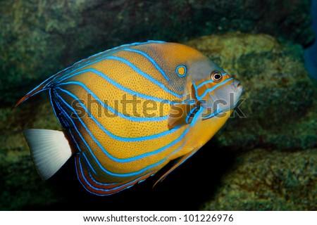 Blue ring angelfish - stock photo