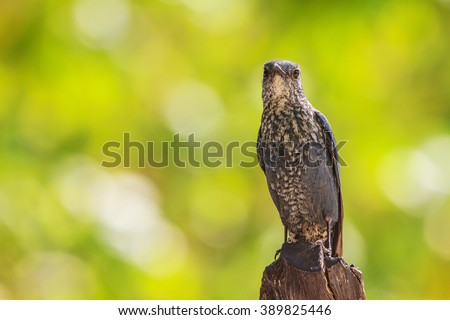 Blue Rock Thrush bird (Monticola solitarius) standing in nature