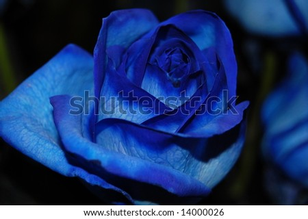Blue ROSE - stock photo
