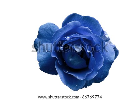 Blue Rose Flower with Water Droplets Isolated on White - stock photo