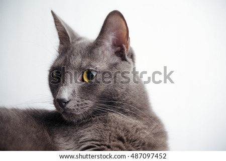 Blue Russian cat. Light background in studio.