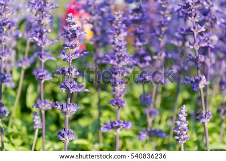 Blue Salvia flower field background on afternoon sunlight. Vintage film look.
