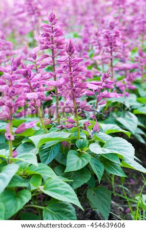 Blue Salvia (salvia farinacea) flowers blooming in the garden and field - stock photo