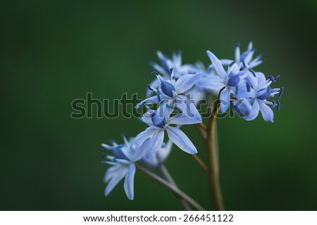 Blue Scilla (Squill) flowers, close up - stock photo