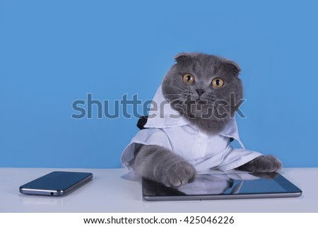 Blue Scottish Fold cat with tablet and phone