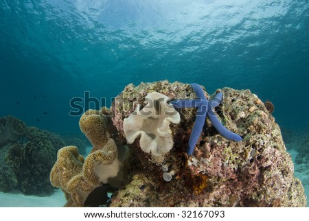 Blue Sea Star (Linckia laevigata) on a coral head underwater with the partly cloudy sky visible obove the water's surface. - stock photo
