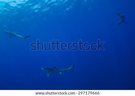 Blue Shark - Prionace glauca, Azores