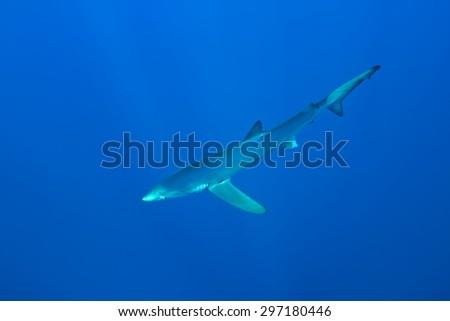 Blue shark-Prionace glauca, Azores. - stock photo
