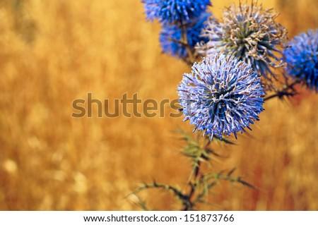 Blue sharp thistle flowers on sunny golden field - stock photo
