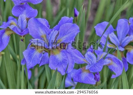 Blue Siberian iris blooms, digital oil painting - stock photo