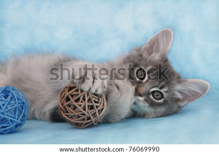 Blue Silver Somali kitten playing with wicker balls - stock photo